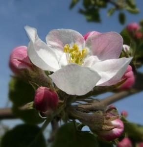 Apfelblüte Fehmarn